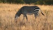 Cape Mountain Zebra, Mountain Zebra National Park