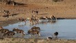 Black wildebeest and blesbok antelopes at a waterhole