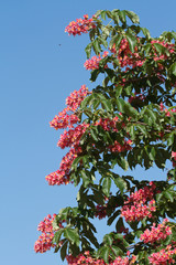 Flowering red chestnut in spring against a blue sky
