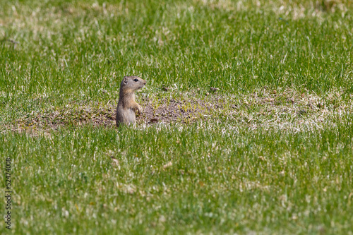 Upright Ground Squirrel