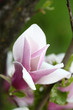 spring flower in the garden, magnolia