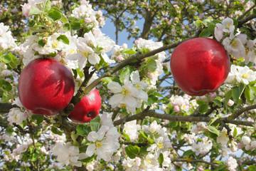 Rote Äpfel hängen an blühenden Apfelbaumzweigen