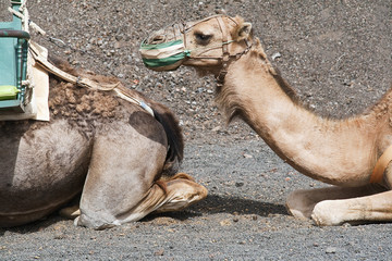 Camel in Timanfaya fire mountains in Lanzarote, Canary Islands
