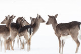 herd of fallow deer in the snow