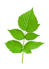 Blackbarry leaf