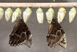 Emerging Butterflies