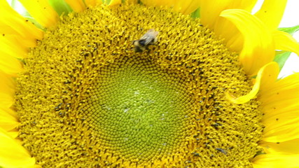 macro sunflower bloom and bumblebee bee collect pollen