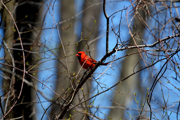 Bright Red Cardinal in a Tree in Spring