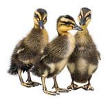 three ducklings isolated on a white background