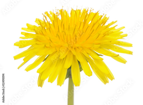 Yellow Dandelion (Taraxacum Officinale) Flower on White