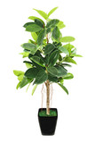 Ficus elastica (Indian Rubber Bush) in black flowerpot on white