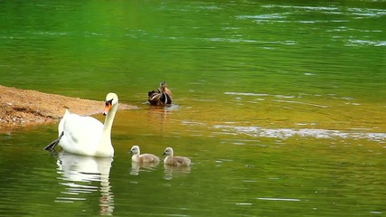 Swan family on the lake.