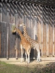 Girafes, parc de la Tête d'or à Lyon - Giraffes in Lyon