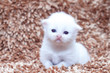portrait of white kitten (new baby born)