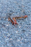 Centipede died on the road.