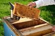 pszczelarz pracujący w pasiece w okresie wiosennym