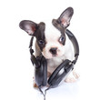 French bulldog puppy with headphones over white background