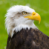 the gaze of the eagle in Cabarceno