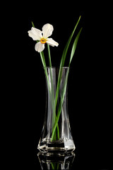 narcissus flower in a vase
