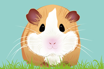Guinea-pig Of Vector Illustration