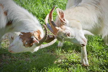 Angry goats fighting on a sunny day