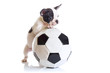 French bulldog puppy with soccer ball over white