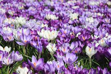 Group of crocuses
