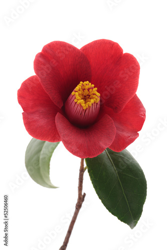 Kurostubaki, black red camellia isolated on white background