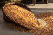 Corn being dried on the ground