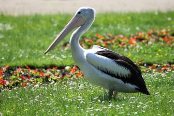 Pelikan auf die Grüne wiese