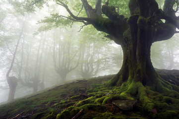 foggy forest with mysterious trees with twisted roots