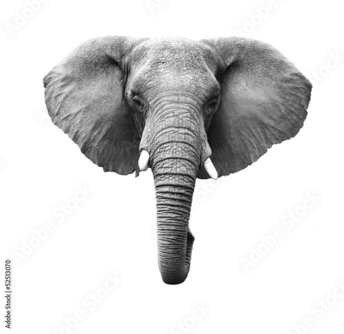 Foto op Aluminium Zuid Afrika Elephant Isolated