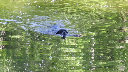 Black dog with  stick in water