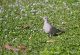 A Eurasian Collared Dove