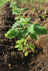 Young plant of tomato growing in the soil