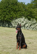 Purebred  dog doberman