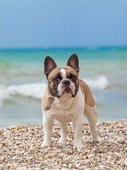 Purebred dog French Bulldog