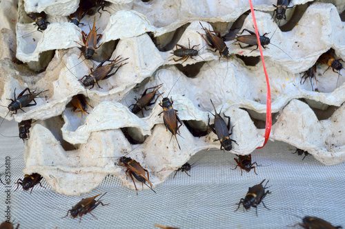 crickets in egg tray condominium