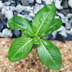 small vinca plant glowing between rock and concrete