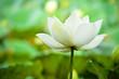 white lotus in thailand