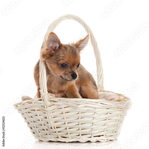 chihuahua in the basket.