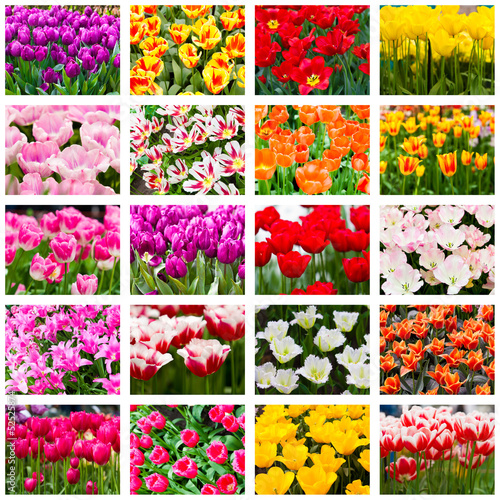 Tulips collage. Spring flowers