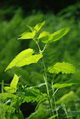 Young nettles on the glade