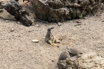 A Male Meerkat sits