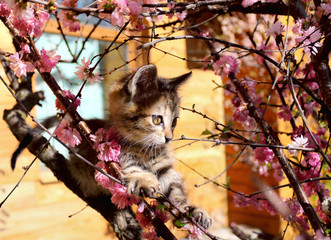kitten climbed the flowering almonds