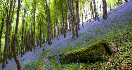 Woodland Bluebell Panorama.