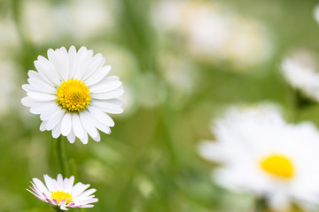 schöne Frühligsblumen - Gänseblümchen Hintergrund