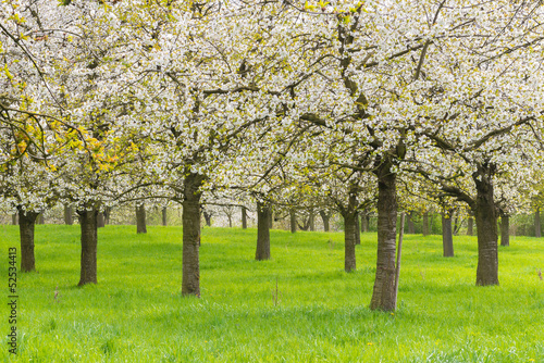 Blossoming fruit orchard