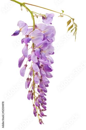 Papiers peints Lilac wisteria