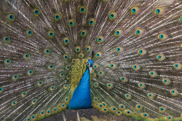The male peacock (Pavo Linnaeus) with tail disclosed